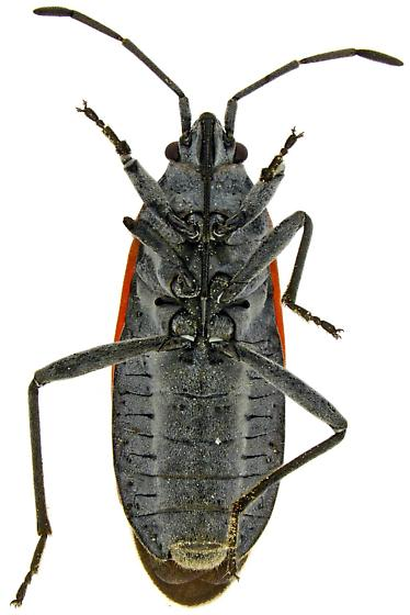 Male, Melacoryphus lateralis? - Melacoryphus lateralis - male