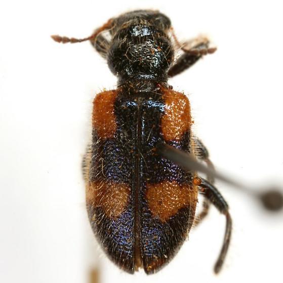 Aulicus femoralis Schaeffer - Aulicus femoralis