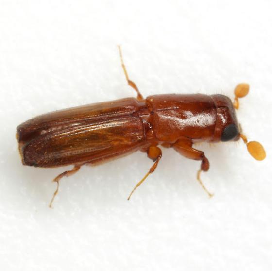 Euplatypus compositus (Say) - Euplatypus compositus - female