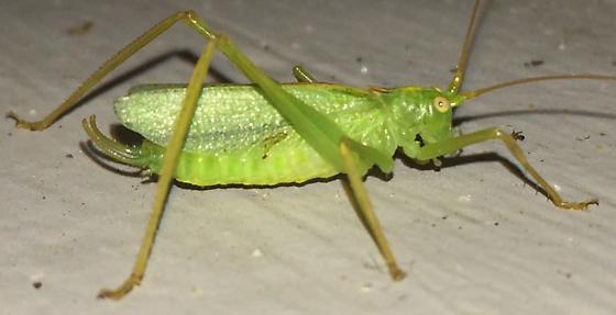 Katydid - Meconema thalassinum - male