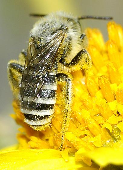 Hesperapis --Melittidae? - Hesperapis - male