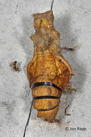 Pipevine Swallowtail Pupa (deceased) - Battus philenor