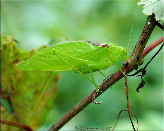 Which Microcentrum? - Amblycorypha oblongifolia - male