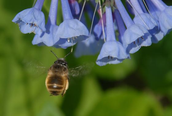 Unknown Bee Visiting Mertensia virginica (Virginia Bluebell) Blossoms - Anthophora villosula