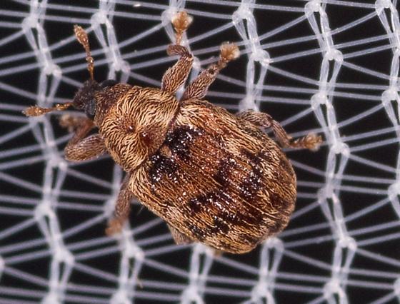 Weevil for ID - Piazorhinus pictus