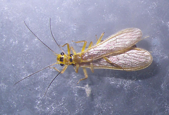 Green-Winged Stoneflies (Isoperlinae) ? - Perlesta - male - female