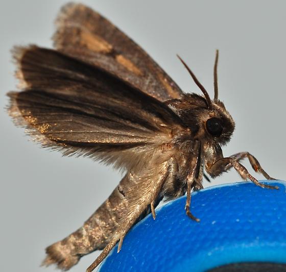 Moth  - Acrolophus popeanella