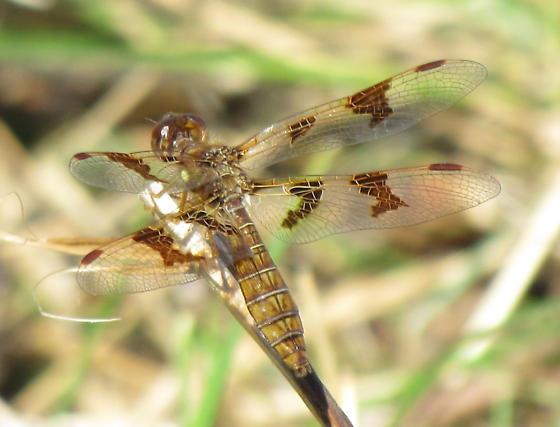 Dragonfly species? - Perithemis tenera - female