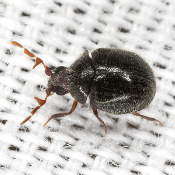 Death Watch Beetle ? - Caenocara
