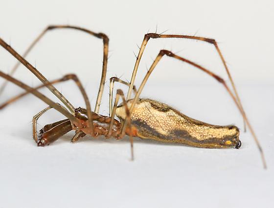BG3186 E6208 - Tetragnatha elongata - female
