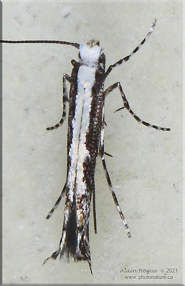 Micrurapteryx occulta - Micrurapteryx