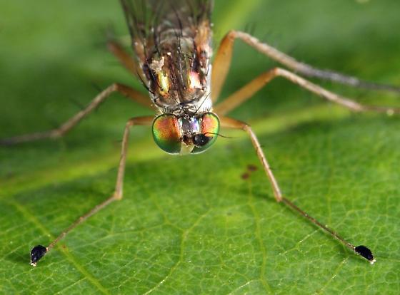 Longlegged Fly - Dolichopus porphyrops - male