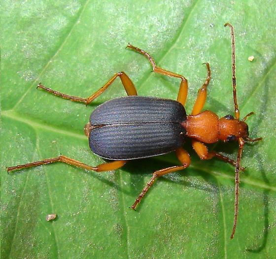 Bombardier Beetle? - Brachinus