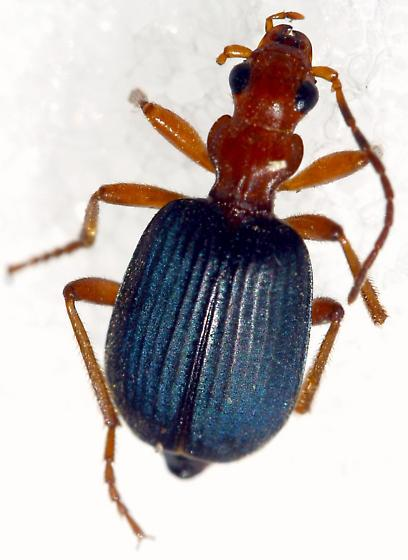 ID request - Brachinus phaeocerus