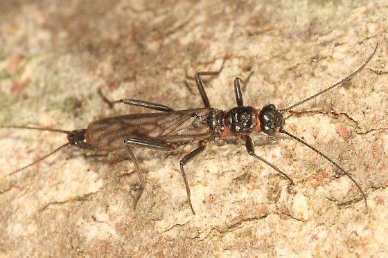 Small Winter Stonefly - Allocapnia minima - male