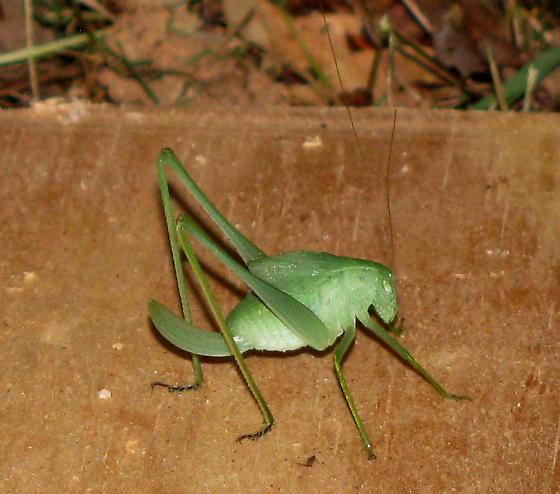 Oblong-winged Katydid - Amblycorypha oblongifolia - female