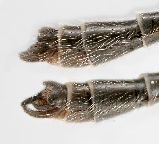 BG1773 C8149 - Bittacomorpha clavipes - male