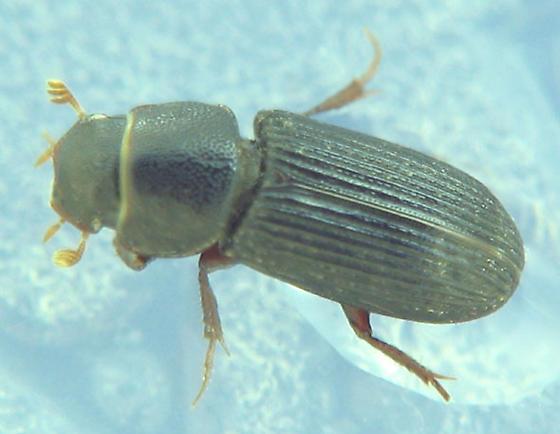 Ataenius dung beetle? - Ataenius gracilis