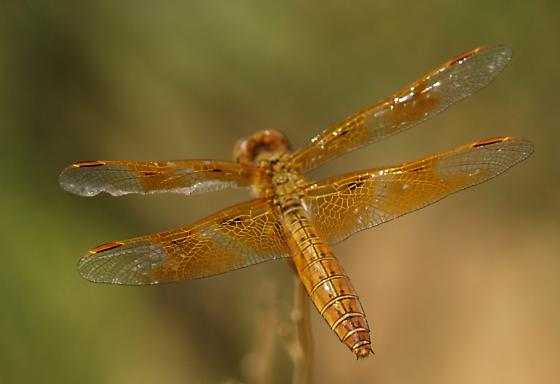 Mexican Amber Wing? - Perithemis intensa - female