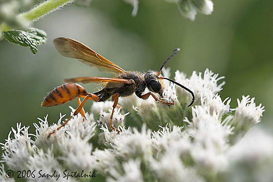 Grass-carrying Wasp - Isodontia elegans - female