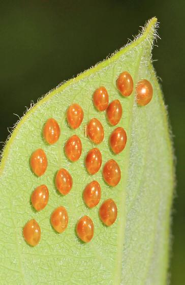 golden eggs on Dogbane
