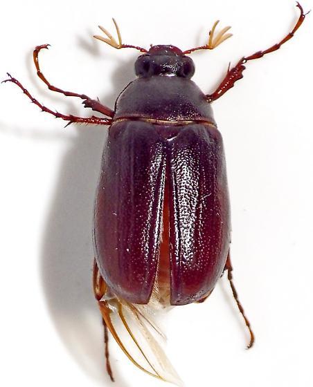 May Beetle - Phyllophaga hirtiventris - male