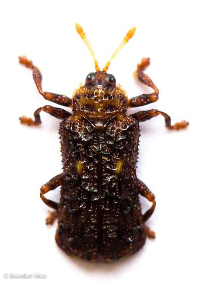 Octotoma marginicollis