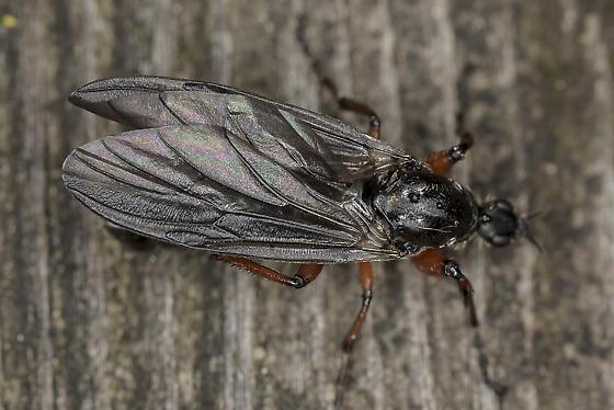 March fly? - Bibio xanthopus