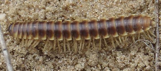 millipede in sand prairie - Pleuroloma flavipes