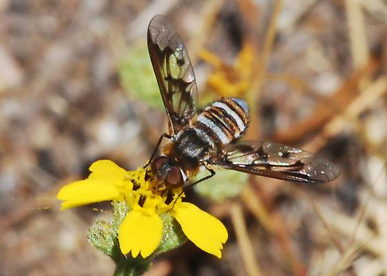 OC Bee Fly Archives -found flying over nesting Diadasia bees - Exoprosopa doris