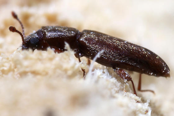 another small brown beetle - Trogoxylon parallelipipedum