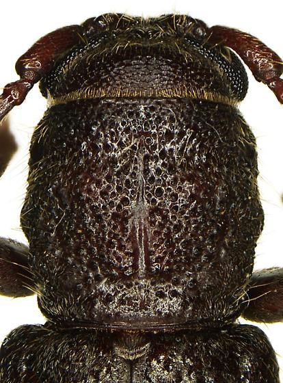 Cacophrissus pauper - female