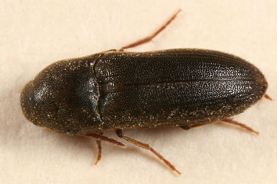 False Click Beetle - Isarthrus rufipes - male