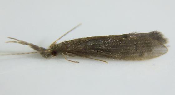 Leptocerid - Oecetis inconspicua - female