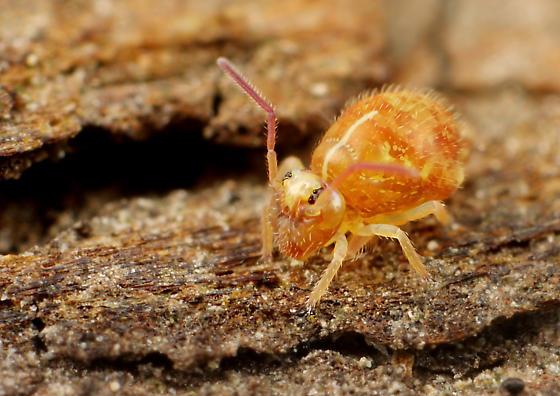 Collembola - Pseudobourletiella spinata - male