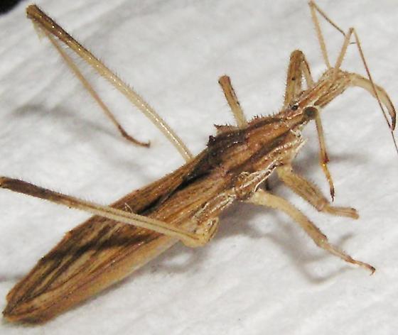 Spikey - Stenopoda spinulosa
