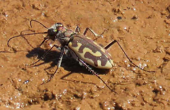 C. h. corpuscula - Cicindela hirticollis