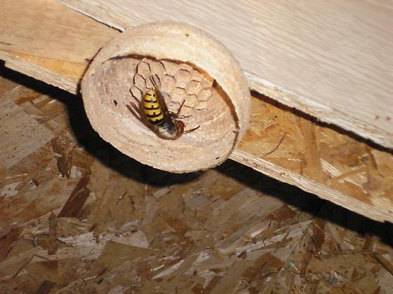 BIG bee - Vespa crabro - female