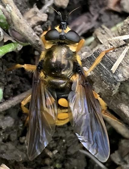 Drone Fly - Somula decora - female