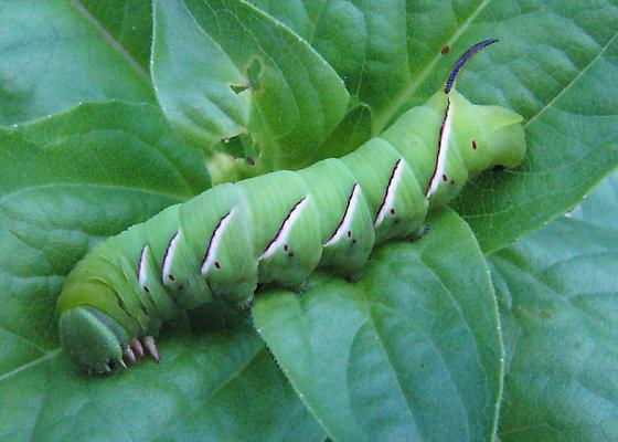 hornworm - Sphinx poecila