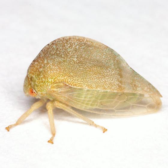 Cyrtolobus arcuatus (Emmons) - Cyrtolobus arcuatus - female