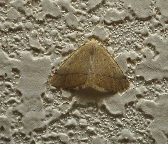 Moth - Destutia oblentaria