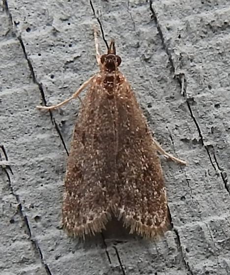 Scoparia penumbralis - Dark-brown Scoparia Moth - Hodges#4717 - Scoparia penumbralis