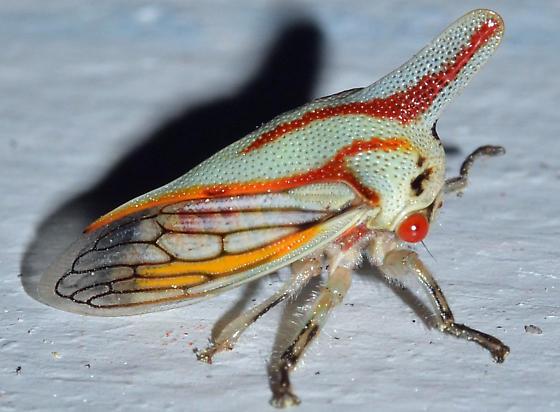 treehopper - Platycotis vittata