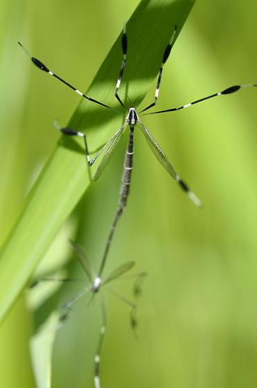 Phantom crane fly - Bittacomorpha clavipes - male - female
