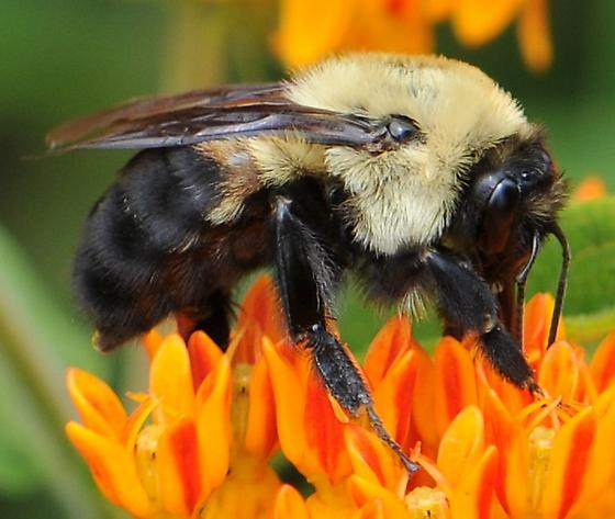 Brown-belted Bumble Bee - Bombus griseocollis - female