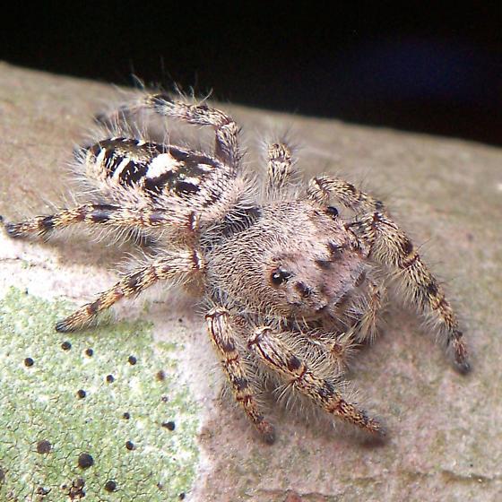 Phidippus sp.? - Phidippus putnami - female