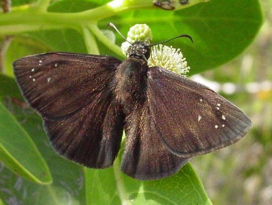 Florida Duskywing - Ephyriades brunnea - male