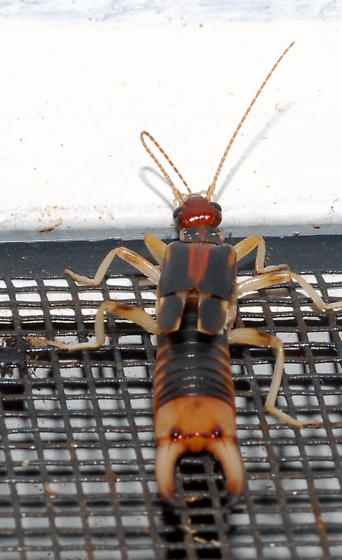 Red earwig - Labidura riparia - male