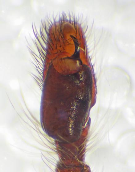 Left pedipalp, ventral view (BG:531800) - Eris militaris - male